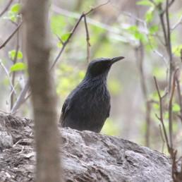 Blue Mockingbird in Guirocoba, Sonora.